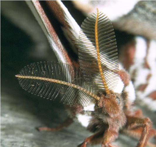 a photo of a cecropia moth