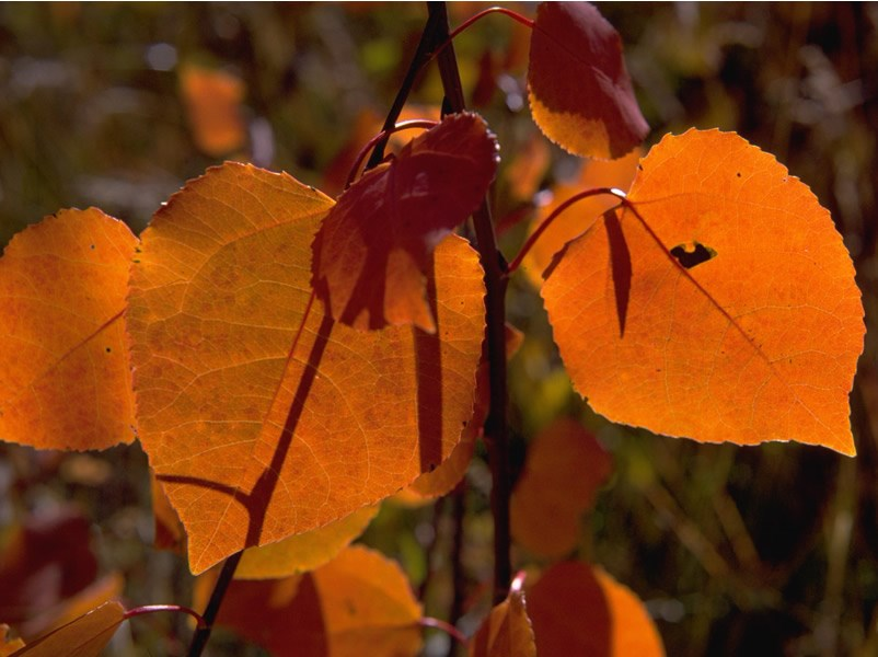 a photo of orange aspen leaves