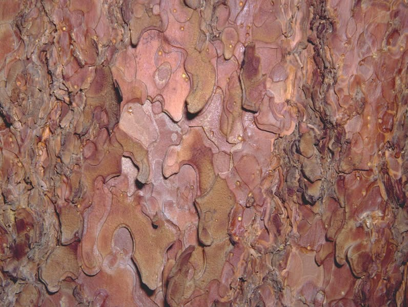 a photo of ponderosa pine bark