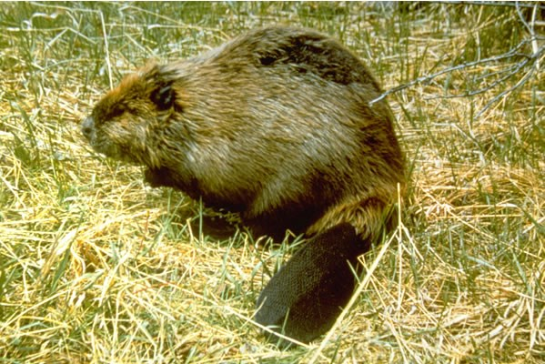 a photo of a beaver