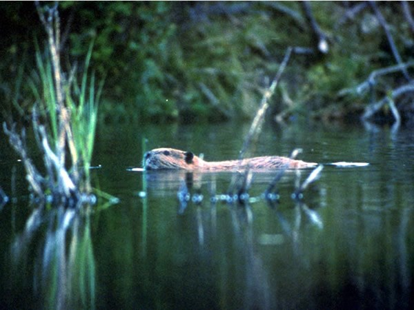 a photo of a beaver swimming