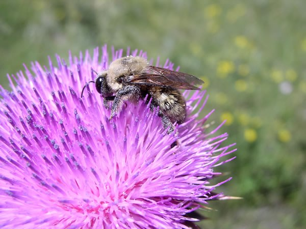 a photo of a bee cross-pollinating