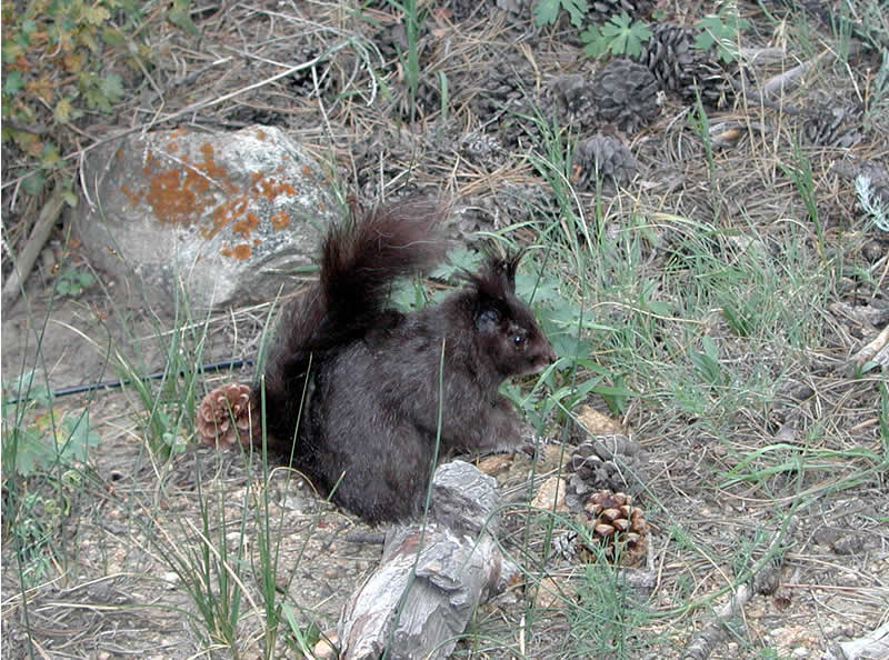 a photo of a black Abert's squirrel