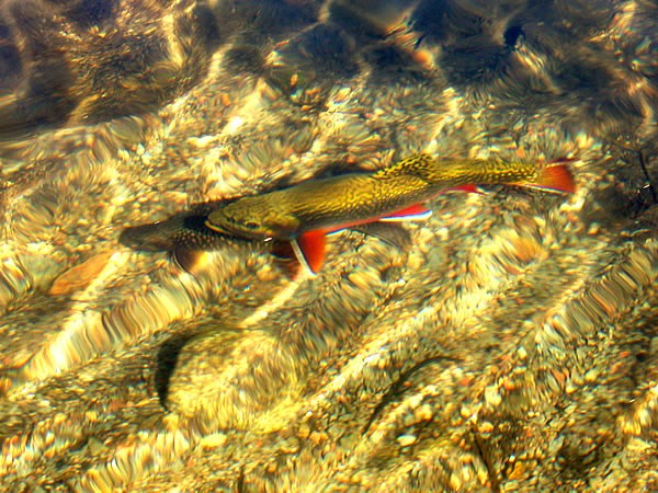 a photo of brook trout