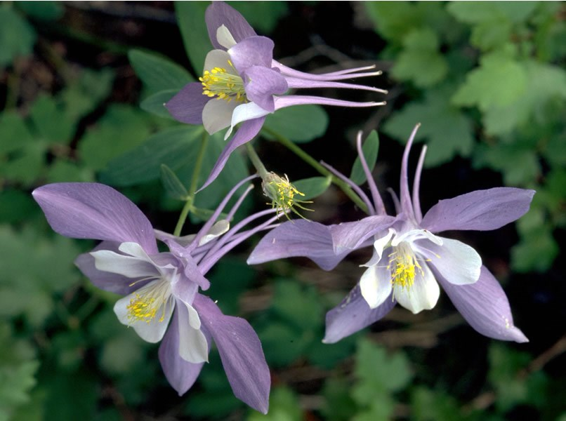 a photo of columbines