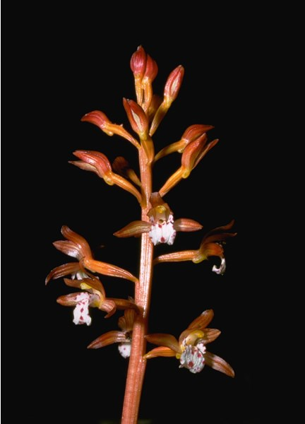 a photo of coral root orchid