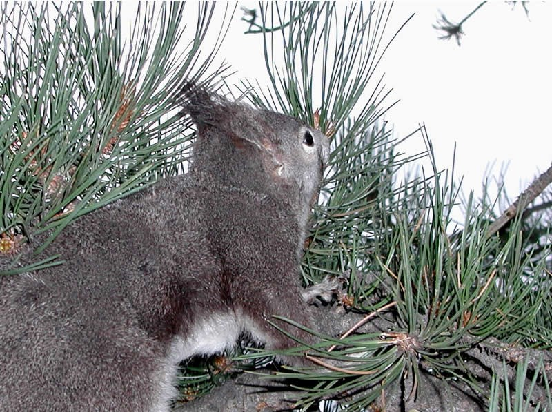 a photo of an Abert's squirrel's tufted ears