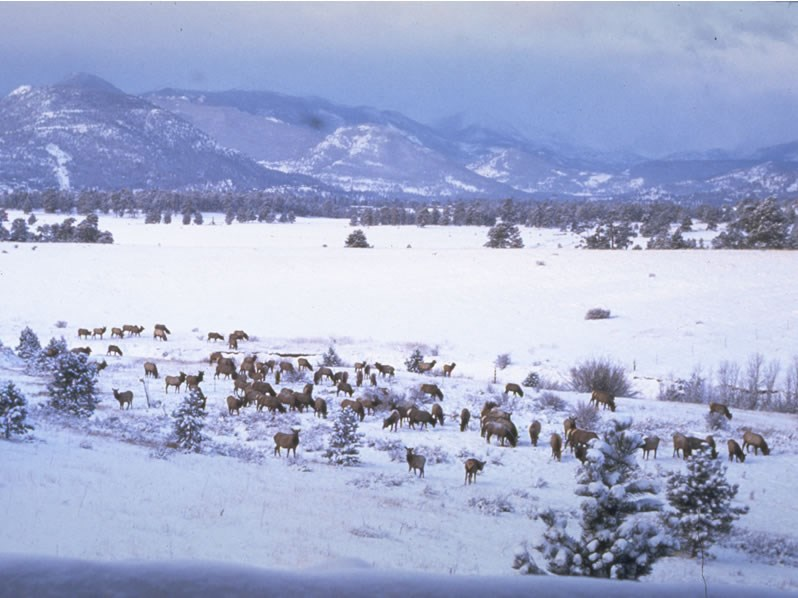 a photo of a winter band of elk