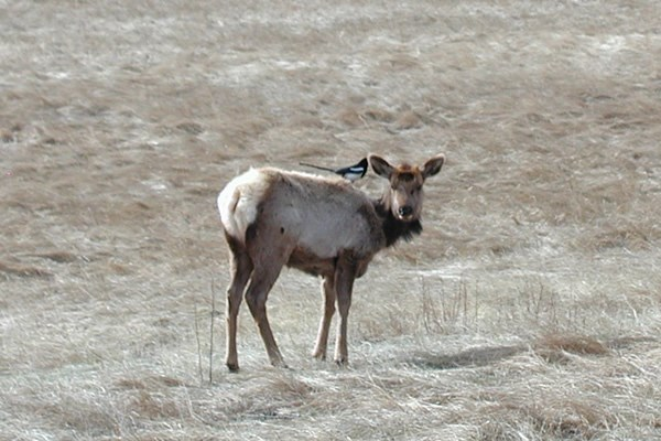 a photo of  an elk with a magpie on its back
