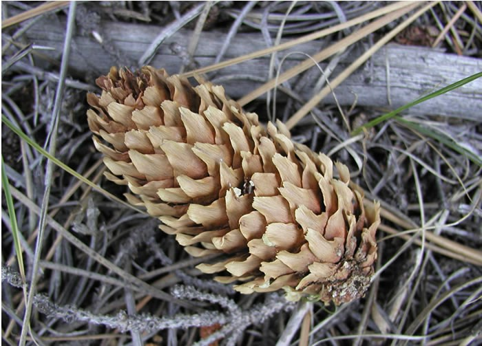 a photo of an Englemann spruce cone
