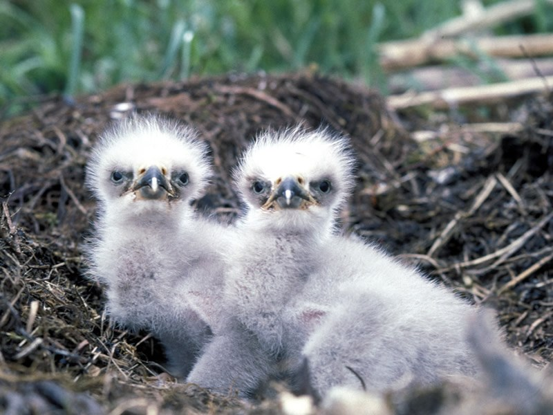 a photo of two eagle chicks
