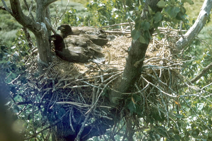 https://www.nps.gov/romo/images/lg_fws_bald_-fledglings-nest.jpg