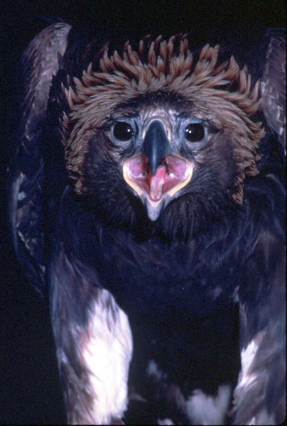 a photo of a golden eagle