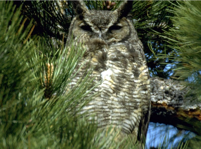 a photo of an adult great horned owl