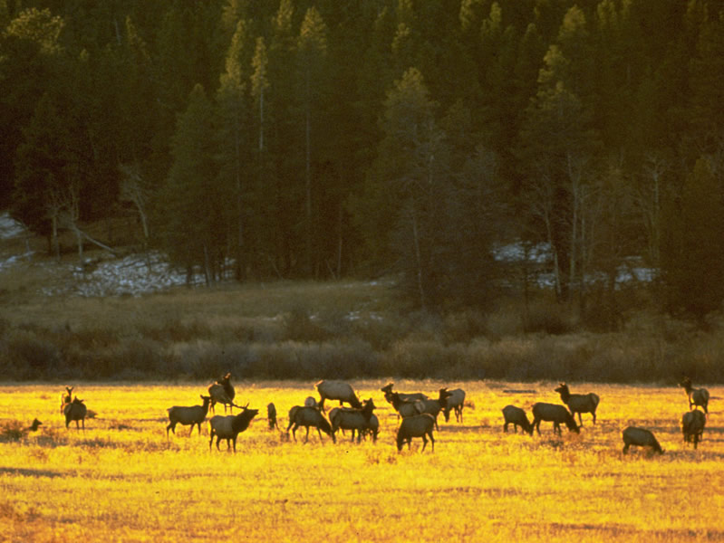 a photo of an elk harem