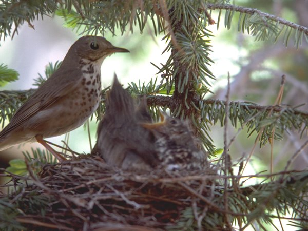 a photo of a hermit thrush
