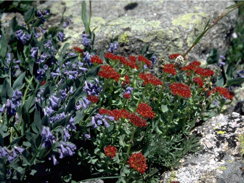 a photo of blue chiming bells and red king's crown
