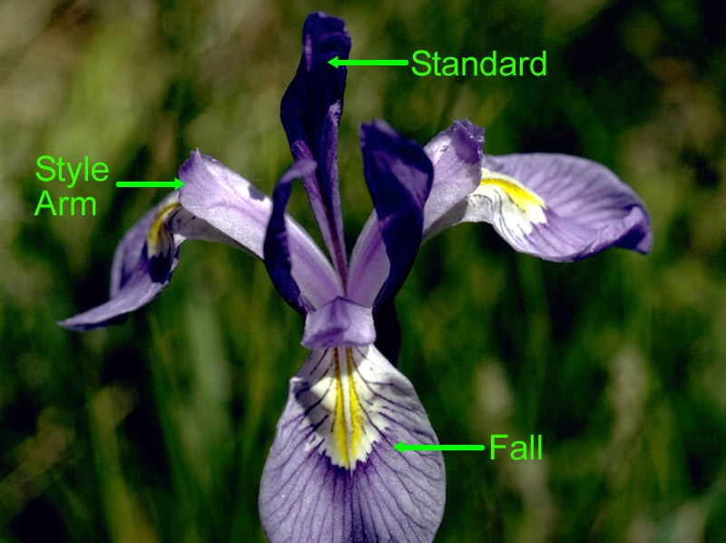 a labelled photo of mountain iris