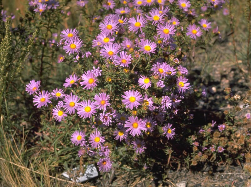 a photo of Patterson tansy aster