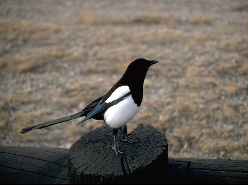 a photo of a magpie