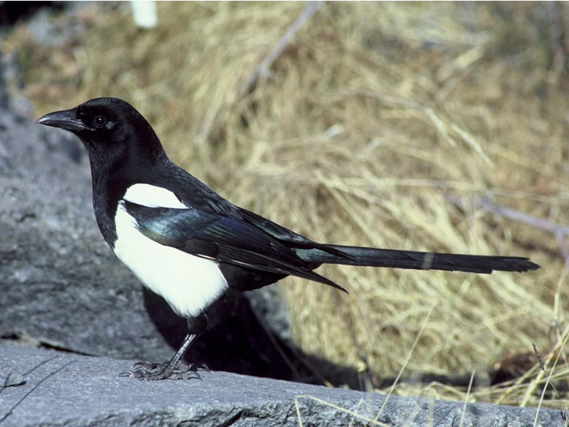 a photo of a black billed magpie