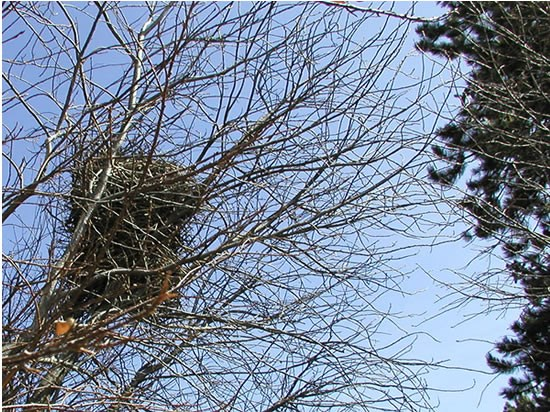 a photo of  a magpie nest