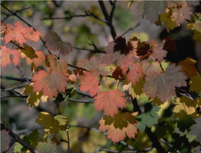 a photo of maple leaves