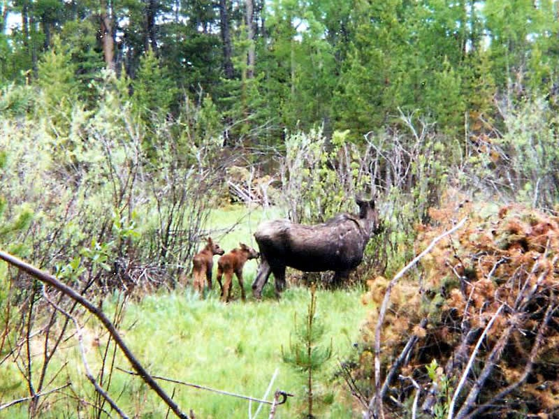 a photo of moose calves
