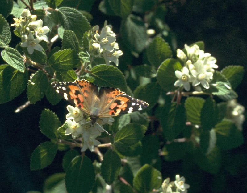 a photo of a painted lady butterfly on a waxflower