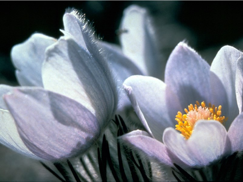 a photo of a pasqueflower