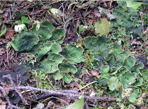 a photo of Peltigera