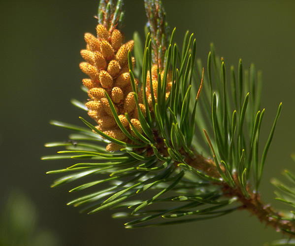 a photo of a male pine cone