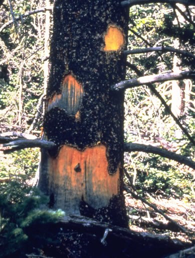 a photo of a tree damaged by porcupines