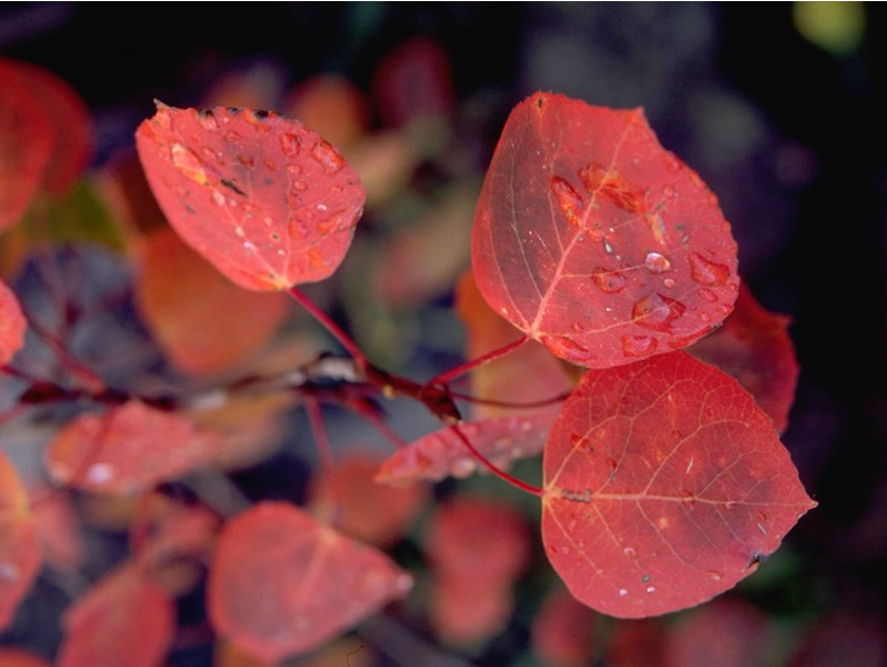 a photo of red aspen leaves