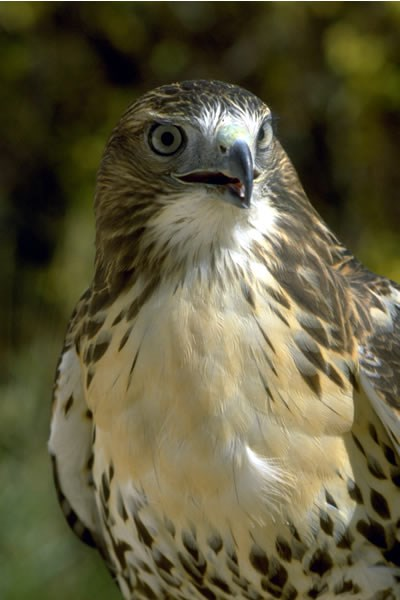 a photo of a red-tailed hawk