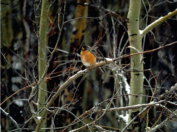 a photo of an American robin