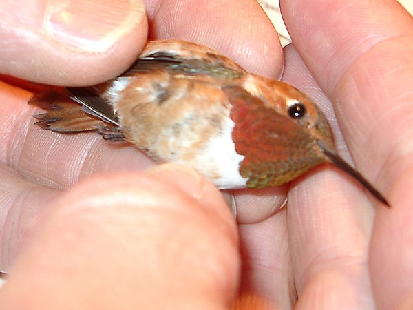 a photo of a rufous hummingbird