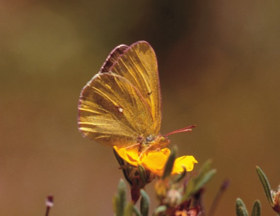 a photo of Scudder's sulphur butterfly