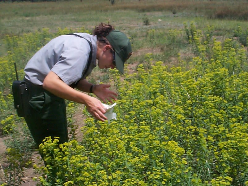 a photo of noxious weeds being controlled with insects