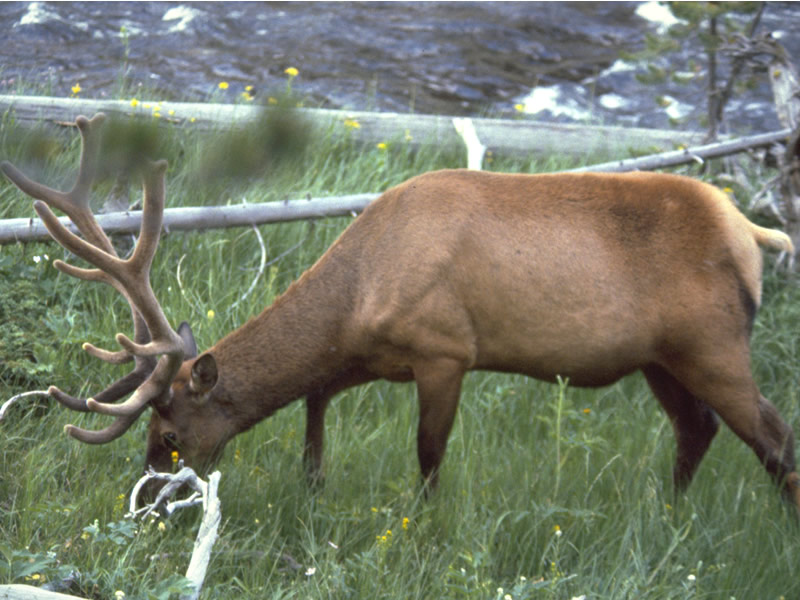 a photo of an elk in summer coat