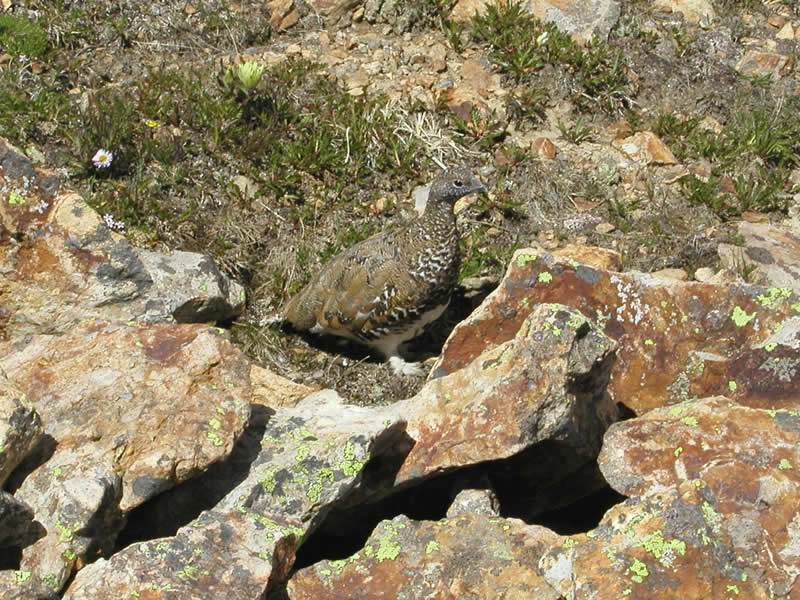 a photo of a ptarmigan in summer