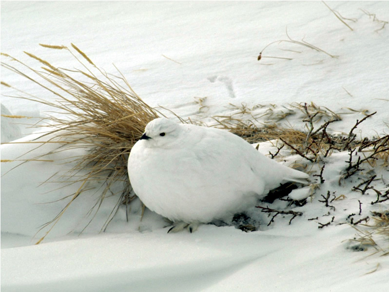 a photo of a ptarmigan in winter