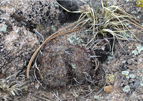 a photo of a shriveled mountain ball cacti