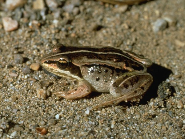 a photo of a wood frog