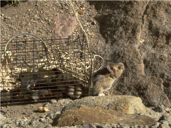 a photo of a bushy tailed woodrat