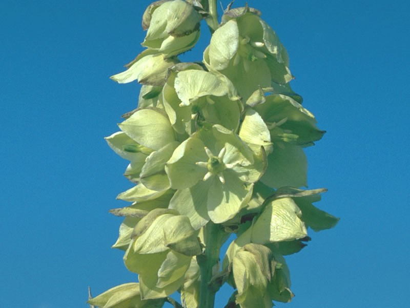a photo of yucca flowers