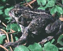 a photo of an adult boreal toad