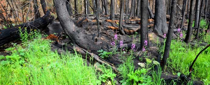 green vegetation grows in a burned forest