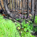 Green plants grow beneath burned trees