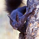 An Abert's squirrel clinging to the side of a tree.
